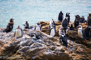african penguins-bettys-bay