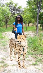 Walking a cheetah